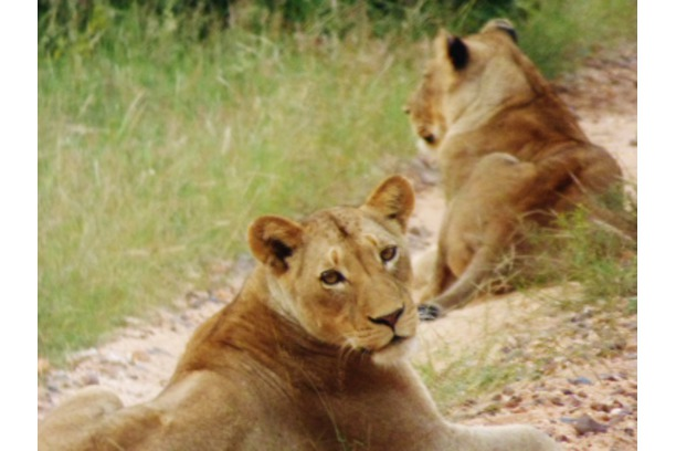 Lions, Balule, Conservation, South Africa