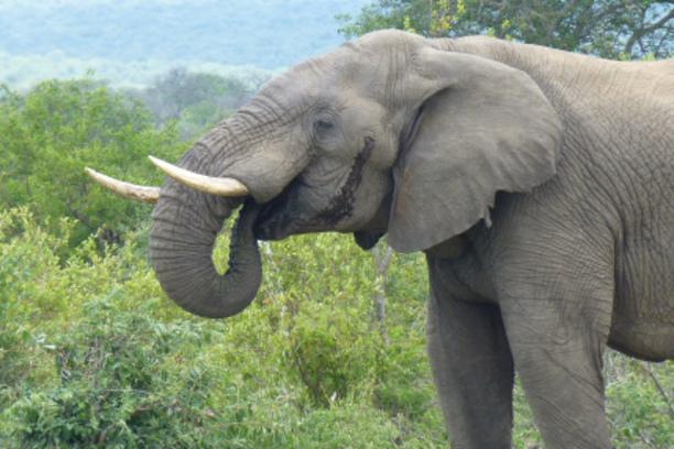 elephants, conservation, africa, balule