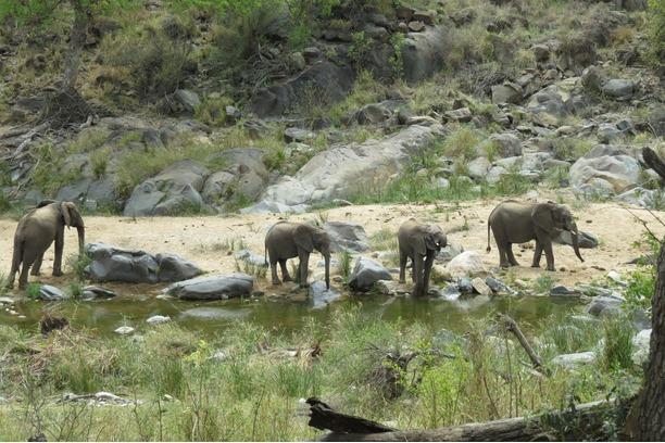 game count, mega herbivore, elephants, Kruger Park