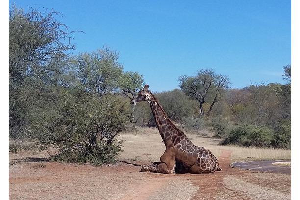 giraffe, rescue, transfriontier africa, kruger