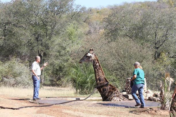 conservation, giraffe, transfrontier