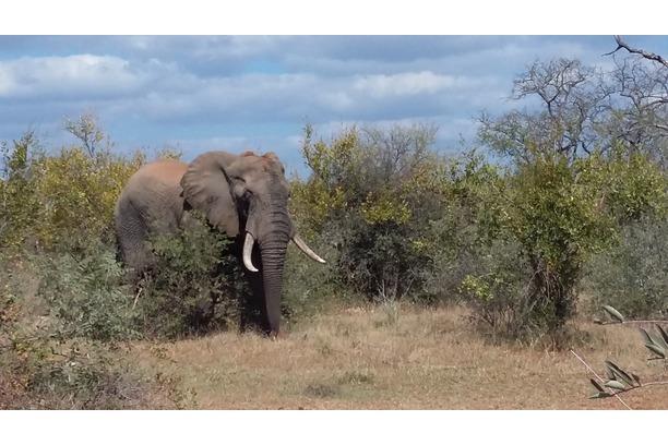 elephant, kruger, winter, dry season, africa