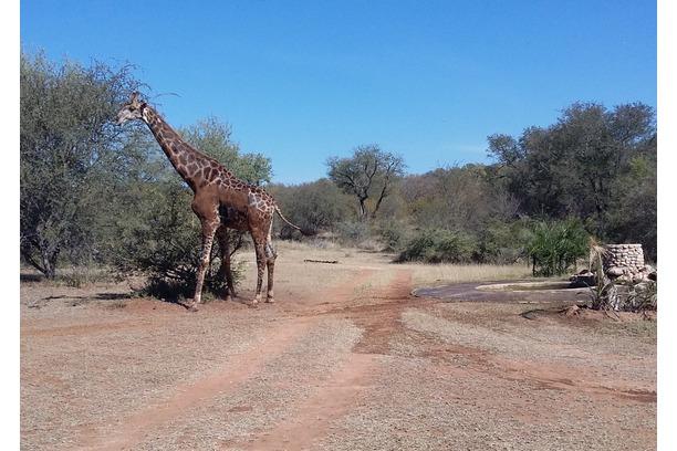 Giraffe, Transfrontier, Provets, Campfire safaris