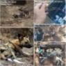 African wild dog snare, Balule, Greater Kruger