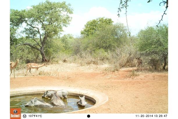 Camera trap, Balule, Conservation, Greater Kruger
