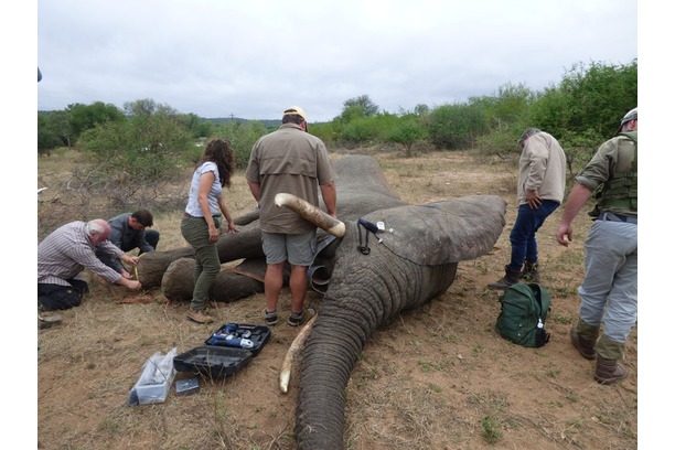 Save the Elephants, Balule, Elephant collaring