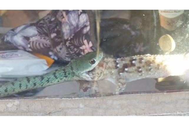 Snake eating a Gecko, Transfrontier Africa, Balule