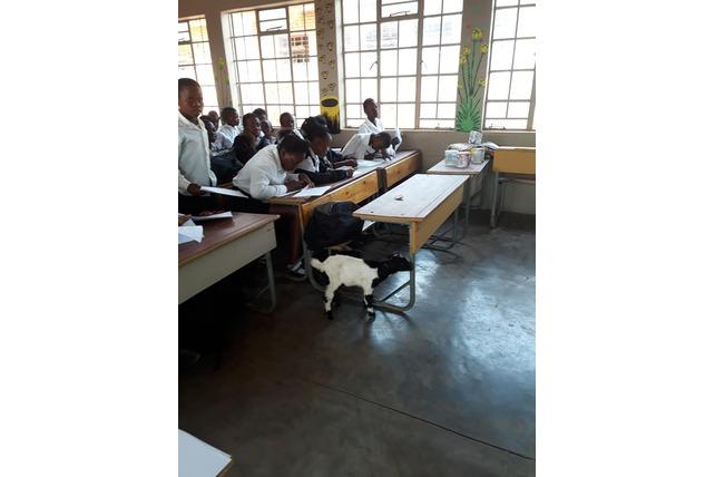 Busb babies classroom visitor, kid goat