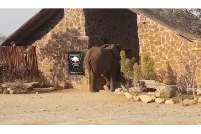 Elephant walking through Olifants West visitorGate