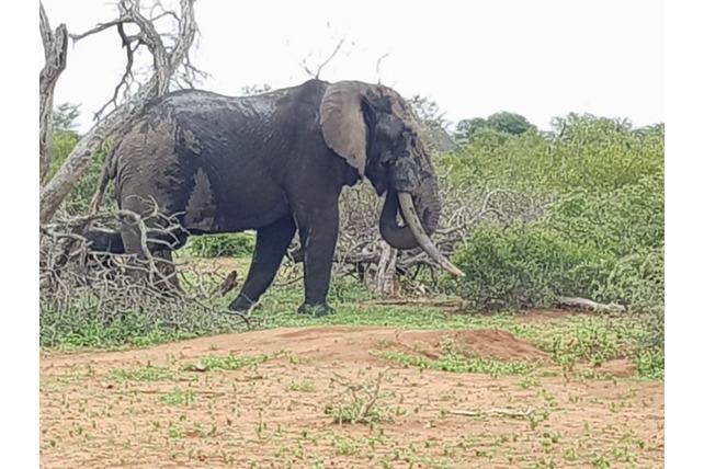 Tusker, Elephant, APU, Balule, Volunteer