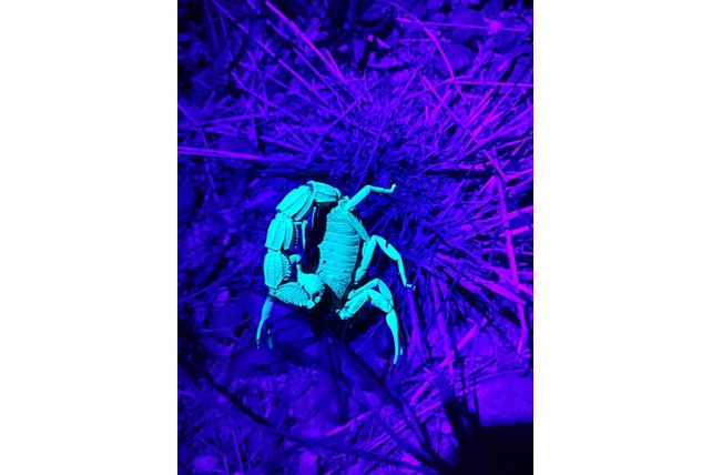 Scorpion, Conservation, Balule, Volunteer SA