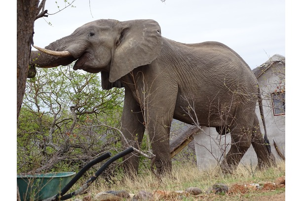 Elephants are not uncommon on camp in Balule