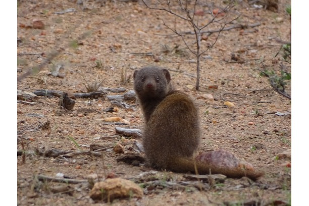 One of the mongoose species found on Balule
