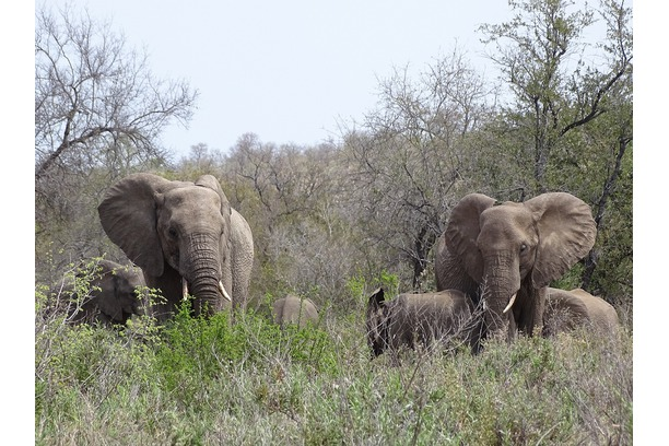 Elephants during the heat of the day on Balule