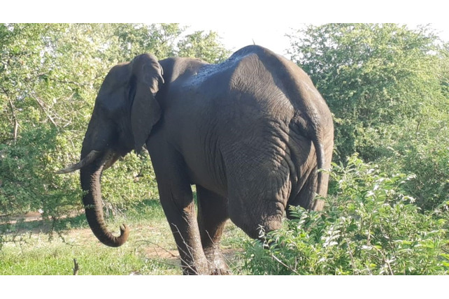 Elephant, snare, removed, walking away, Balule, SA
