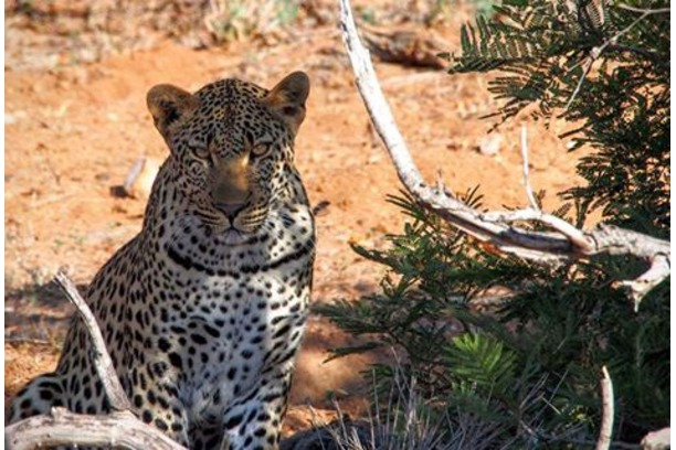 Leopard, Balule, South Africa, Conservation