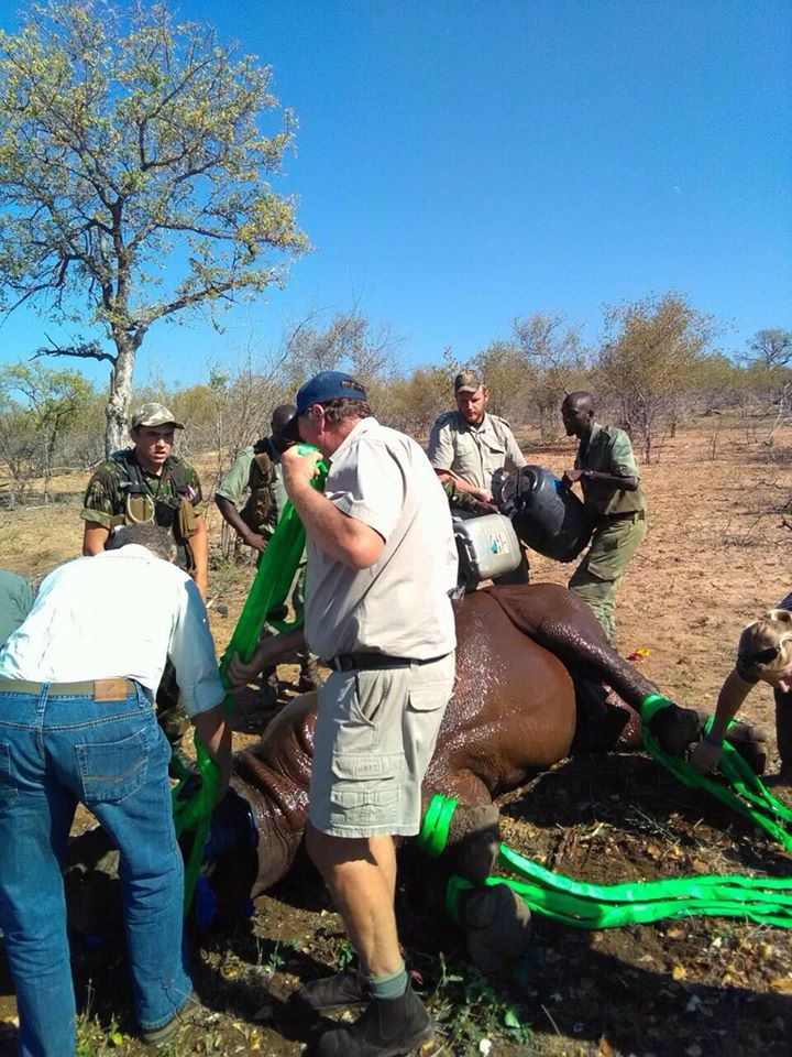 Black rhino rescue in South Africa.