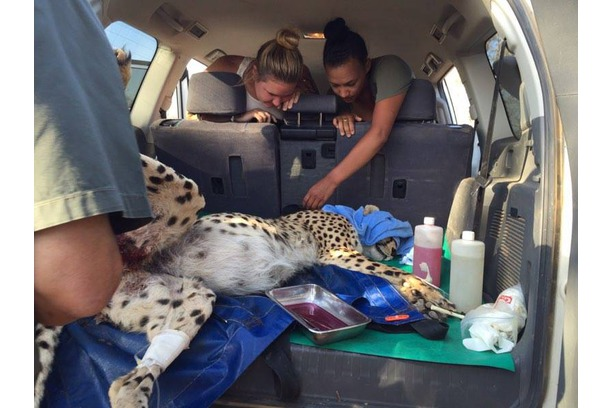 Cheetah relocation in Balule Nature Reserve