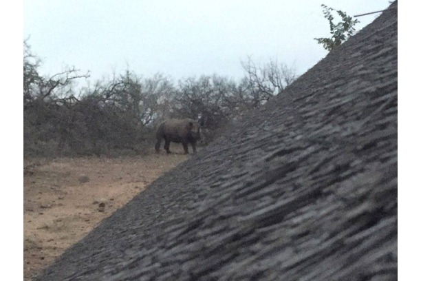 Black rhino visitingo our camp in Balul