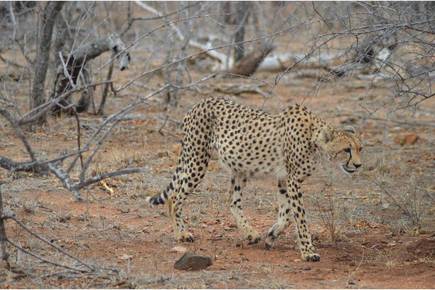 The cheetah who escaped the Balule reserve