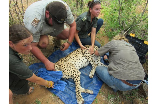 Cheetah, South Africa, Conservation, Balule, SA