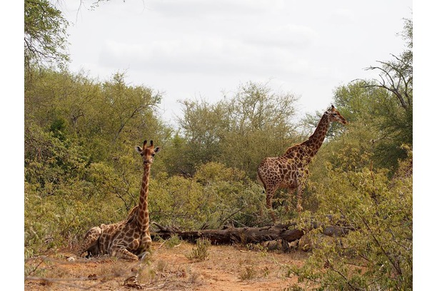 Giraffe, Conservation, Balule, Bush, South Africa