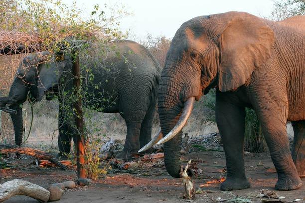 elephants, conservation, balule,  kruger, africa