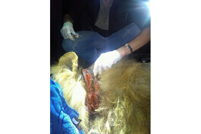 Injured, Snare, Removal, Lion, APU, Volunteer, SA
