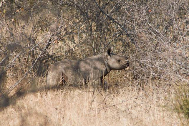 A baby black rhino somewhere in Kruger Park...
