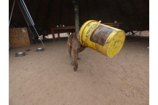 Shaya the anti-poaching dog!