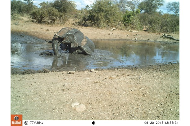 Research camera trap photo of elephant in Balule
