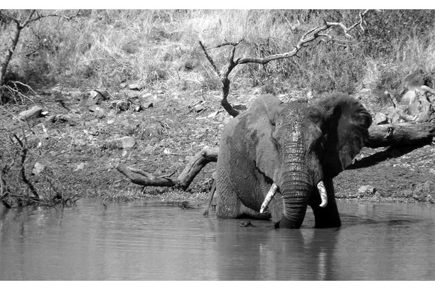 Shos, elephant, conservation, South Africa