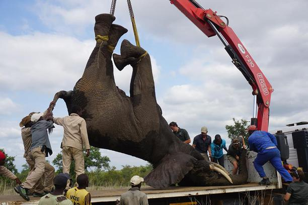 Elephant, lorry, crane, rescue, South Africa