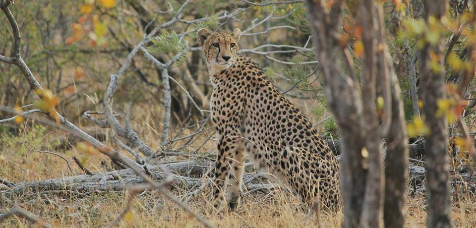 Cheetah, Balule Nature Reserve, South Africa.