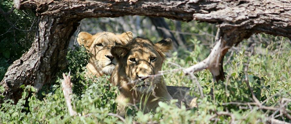 Lions in Greater Kruger National Park