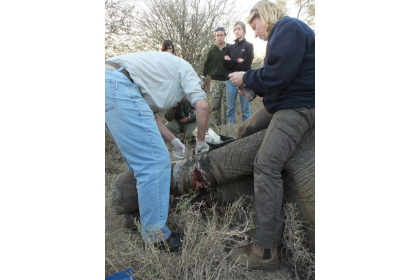 elephant, snare removal, poaching, kruger, africa