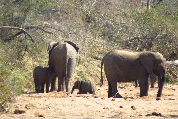 Elephants, Kruger, Greater Kruger, South Africa