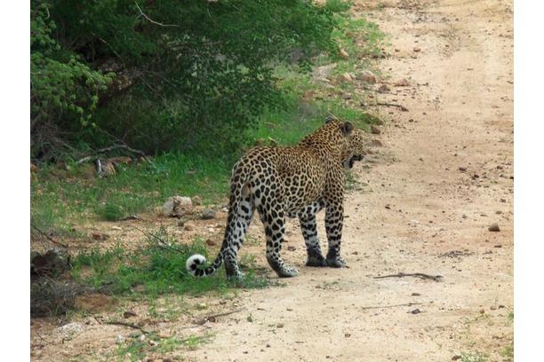 leopard, panthera pardus, transfrontier africa
