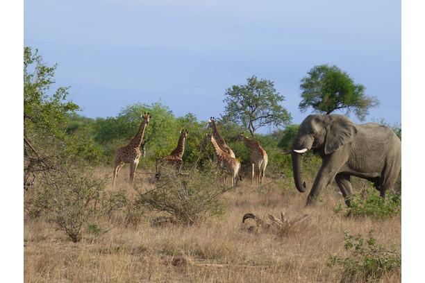 elephant, bull, giraffe, greater kruger park