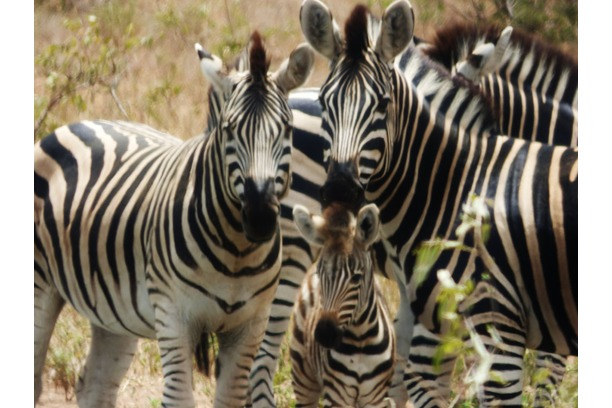 zebra, young, fowl, greater kruger