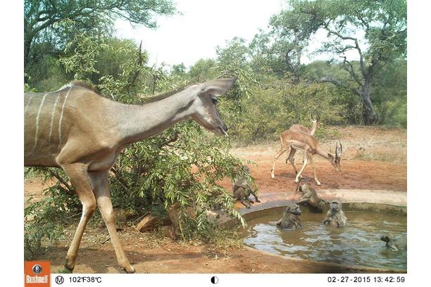 baboons, camera trap research, kudu, balule