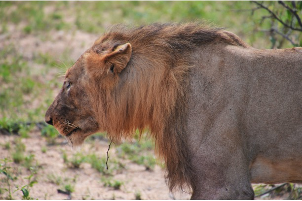 lion, Balule, South Africa,Conservation
