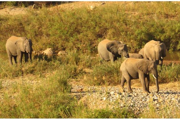 Elephants, Balule, Transfrontier Africa