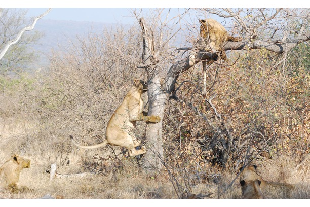 Lions, pride, tree, Balule, South Africa