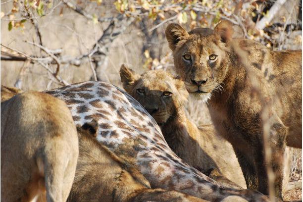 Lions, pride, kill, giraffe, Balule