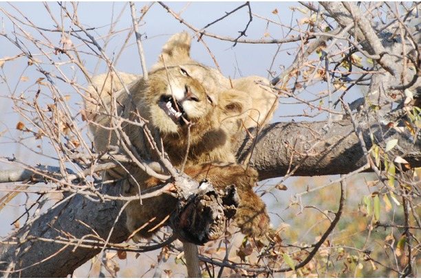 Lion, pride, Balule, Greater Kruger