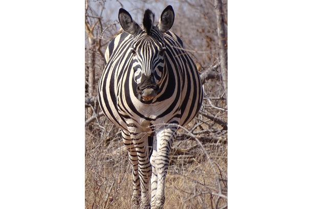zebra, transfrontier africa, balule game reserve