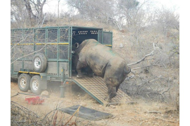 white rhino rescue, rhino protection, balule