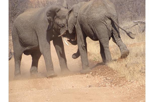 dry season, elephants, conservation, kruger