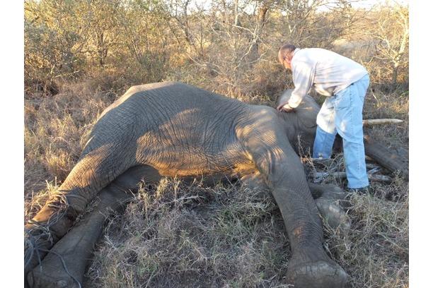 snare, removal, kruger park, balule, elephant